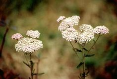 Native: Yarrow (Achillea lanulosa) Attracts beneficial insects and repels beetles, ants and flies. Has many medicinal uses (use with caution).