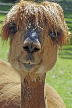 These hilarious pictures of flyaway fur and mohican-style manes show just what happens when animals have a bad hair day. From alpacas to be. Alpacas, Animals And Pets, Funny Animals, Cute Animals, Farm Animals, Wooly Bully, Havanese Puppies, Tier Fotos, Animal Pictures