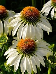 Large, daisy-like, white flowers with large, ginger domed centres are carried…