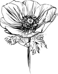 black and white picture poppy flower on the stalk photo