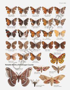 Northwest Butterflies - Butterfly Identification