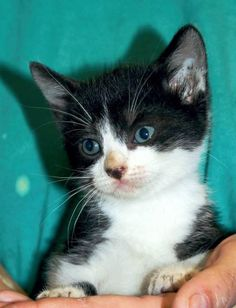 Meet Cypress, a Petfinder adoptable Domestic Short Hair Cat | Enterprise, AL | Cypress is a black and white male kitten. He is about 6 weeks old.Behavior and personalities are...
