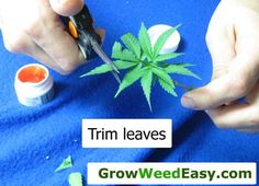 "Make sure to trim your leaves when taking marijuana clones. This helps the cutting focus less on ""digesting"" light, and more on making roots. View full picture tutorial on marijuana cloning: http://growweedeasy.com/complete-guide-cloning-marijuana"