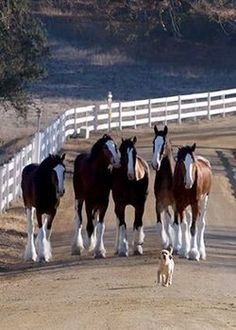 Clydesdale's & Buddy------Okay so before I saw those amazing Friesian horses, I thought Clydesdales were the most beautiful horse ever. Now Im in love with them both equally :-)
