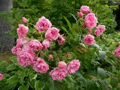 Pink Grootendorst Rose, Flowers, Plants, Pink, Roses, Florals, Hot Pink, Plant, Pink Hair