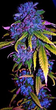 Muthafu**in' purple.  Legalize It, Regulate It, Tax It…