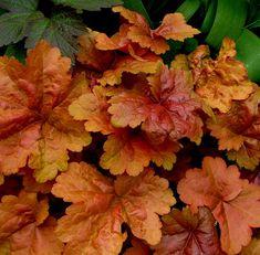 Huechera spp. - Dolce Creme Brulee