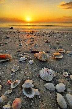 Shells At Sunset, Marco Island Beach, FL . Seriously, the shelling doesn't get much better than at Marco Island, but Sanibel Island is a close second. Beautiful Sunset, Beautiful Beaches, Beautiful World, Simply Beautiful, Marco Island Beach, Sanibel Island, I Love The Beach, Pretty Beach, Nice Beach