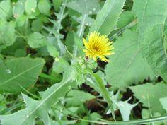 Lista de PANC do site Matos de comer - tem foto, nome científico, receitas e várias outras informações sobre cada planta.