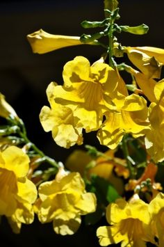 Esperanza Plant – Growing Esperanza Perennials