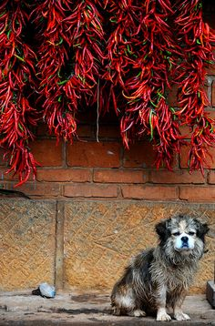 Dog under Chili Peppers in Yunnan, China