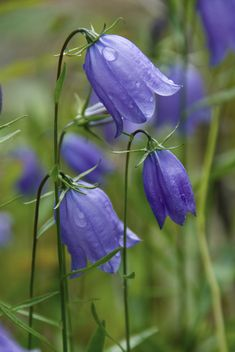 """I do not think I have ever seen anything more beautiful than the bluebell I…"