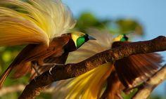 Veja o ritual de acasalamento surrealista das aves-do-paraíso