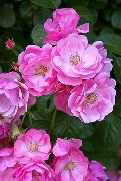 "Rose "" Angela Cl. "" , (sport of Angela ® (floribunda, Kordes, 1984)) ,"