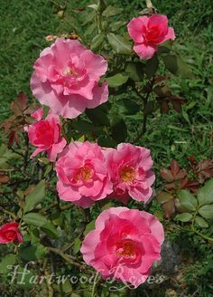 Is this 'Carefree Beauty'? -- Hartwood Roses: Flowers on Friday