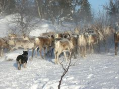 Lapponian Herder dog photo | Lapponian Herder