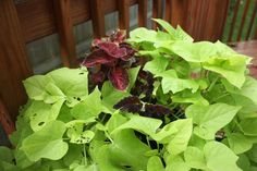 The Edgy Gardener Blog: July's Container Gardens