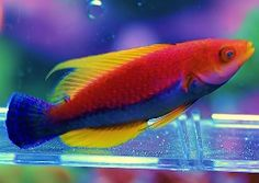 Not all saltwater aquarium wrasses and other fish are reef safe. Reef Safe saltwater fish are marine fish wrasses and others that are both safe for corals and safe for invertebrates in a reef aquarium. Saltwater Aquarium Beginner, Saltwater Aquarium Fish, Saltwater Tank, Underwater Creatures, Ocean Creatures, Beautiful Sea Creatures, Animals Beautiful, Colorful Fish, Tropical Fish
