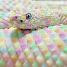 Albino snake looks like candy. How cool is this photo?