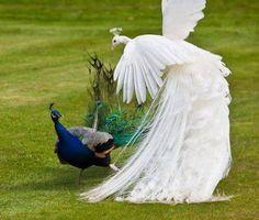 threatening white peacock