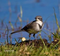 Cape Wagtail, Cape of Good Hope