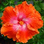 Exotic Hibiscus 'Hot Babe'