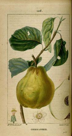 img/dessins-gravures de plantes medicinales/coignassier, cognassier - coing.jpg