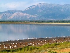The Great Salt Lake in Utah is lined with some of the most magnificent wetlands and birding spots on the continent.