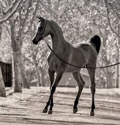 Young #Arabian #horse
