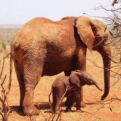 Seniorwees Seraa en haar pasgeboren zoon Solar. http://www.olifanten.org/steun-de-olifant/peetouderproject-kenia