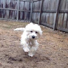 My boyo Fintan, running happily along at dog camp!