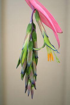 "Queen's Tears-Billbergia nutans"""