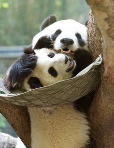 Panda Hugs from San Diego, CA | Flickr - Photo Sharing!