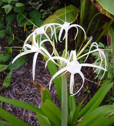 The Spider Lily (Hymenocallis)is native to the Mississippi Valley and Southern United States, down through Central America and the Caribbean. It grows well in full sun to part shade and it blooms best in wet conditions where the bulbs do not dry out between rain or other waterings. This plant is suitable for water gardens or wetlands. Propagation is by bulb division or seeds, although you'll have much better success with the bulb divisions. The flowers are white with long slender petals.