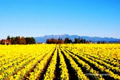Flower Photograph Tulip Fields Tulip by LDTwedePhotography on Etsy