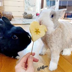 TIFFO: letting Chany to eat half of my hearth shape apple for Valentine's Day!  CHANY: husbun you are so romantic today... can't believe it!  - Hoppy Valentine's Day to everybun ❤️ - Read our kindle Book Tiffo & the Magic Carrot (link in BIO)  - Follow our Friends Tagged  #bunny #rabbit #housebunny #lapin #lol #tiffo #tiffoco #tiffoandchany #chany #bunnies #cute #cutepet #rabbitofinstagram #rabbitstagram #bunnystagram #bunnyofinstagram #instabun #instabunny #fabbunnies #deli...