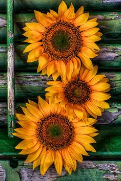 Sunflower tattoo meaning · love all things shabby & vintage sun flowers, sunflowers and daisies, happy flowers, Sunflower Pictures, Sunflower Art, Sunflower Drawing, Sunflower Garden, Happy Flowers, Beautiful Flowers, Sun Flowers, Wedding Flowers, Exotic Flowers