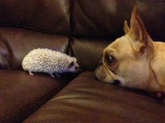 French bulldog meet hedgehog.