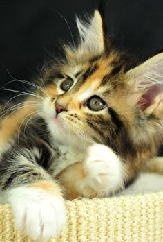 """A kitten with its pretty little tigerish gambols is infinitely more amusing than half the people one is obliged to live with in this world."" --Lady Sydney Morgan"