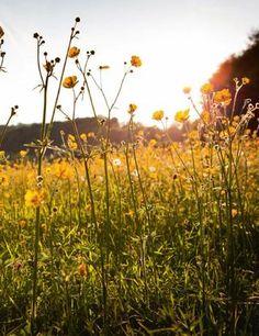 Meadow Buttercups near Oakridge, Gloucestershire, England