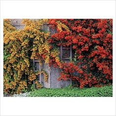Pyracantha 'Mohave' and Pyracantha 'Soleil d'Or. Evergreen shrub. Easy to train against walls and fences and eye-catching shapes. Will attract birds.