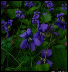 I love wild violets. My father used to eradicate them when they popped up in the yard.  He thought they were weeds.  I thought they were the most beautiful flowers I had ever seen.  Perspective.
