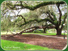 Jekyll Island Live Oak Tree