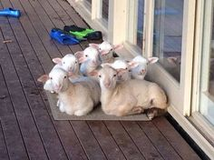 Lambs on a porch (from The Yarn Shop at Foster Sheep Farm)