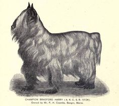 CH. Bradford Harry, owned by Mr. P H Coomba Bango, Maine. Collected by Julie Garrett