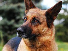 S Police Dog Breeds, Loyal Dog Breeds, Loyal Dogs, Police Dogs, Shepherd Puppies, German Shepherd Dogs, German Shepherds, Best Dog Food, Best Dogs