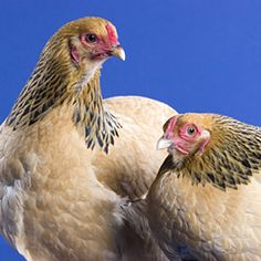 Brahma chicken.. I want for Christmas:))