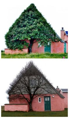 House shaped tree to shelter itself from wind