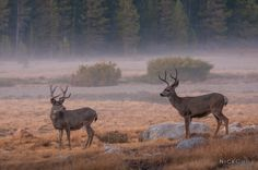"""""""Bucks at Twilight"""" by Nick Chill on 500px - Yosemite National Park - #photography #animals #nature"""