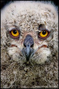 Siberian Eagle Owlet by Miles Herbert